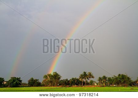 Rainbow Over The Rice Field In Evening