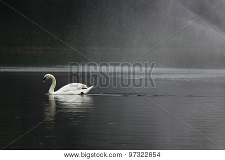 Swan floating in a pond