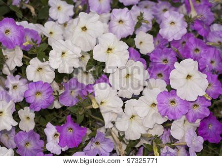Pink And White Petunias Flowers