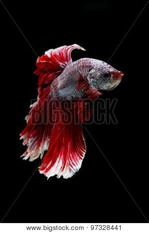 Siamese fighting fish, betta splendens isolated on black background
