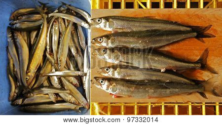 Freshly Caught Smelt Ice Fishing