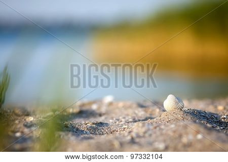 White Small Shell On The Beach