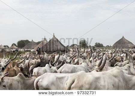 BOR, SOUTH SUDAN-JUNE 25, 2012: Unidentified cattle herders herd a large number of cattle through a small village north of Bor, South Sudan