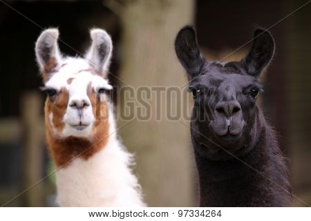 Two llamas with a green background portrait