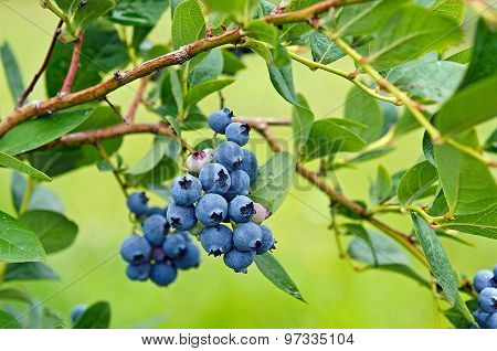 ripe blueberry bunch on bush