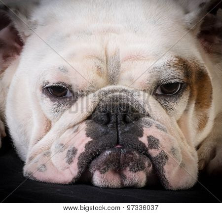 bulldog portrait - one year old female