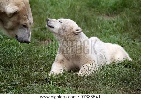 Polar bear meets mother