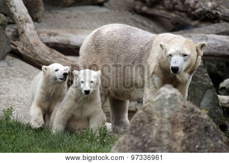 Portrait Of Polar Bear Mother With Her Youngsters