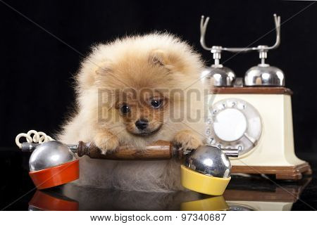 pomeranian spitz and retro phone