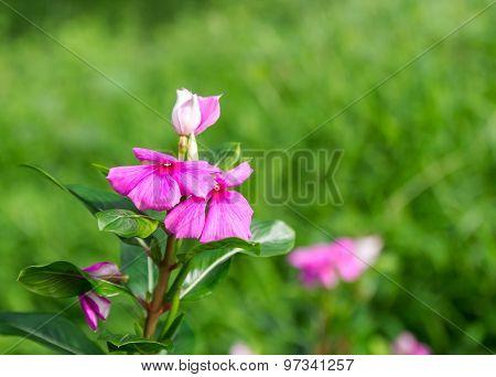 Pink Roseus Flowers In Garden.
