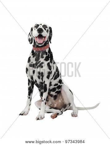 Dalmatian Dog Black And White Isolate