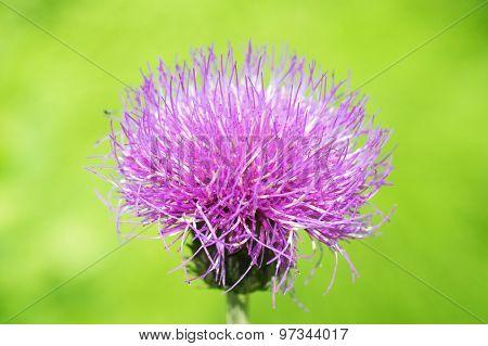 Pink Fluffy Flower