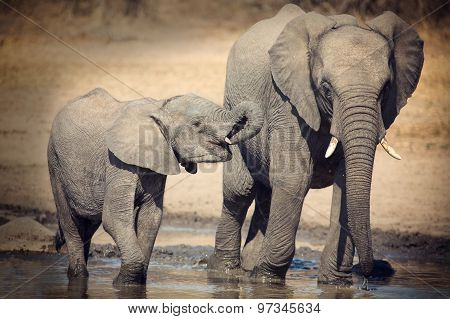 Elephant Calf Drinking Water On Dry And Hot Day