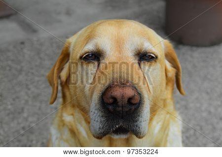 Sad labrador