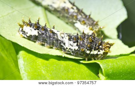 Black Papilio Demoleus Caterpillar