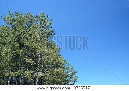 Conifer Trees And Blue Sky