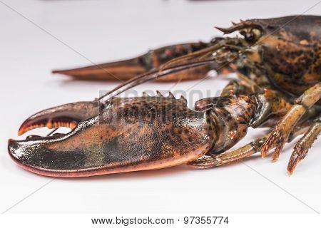 particular of lobster