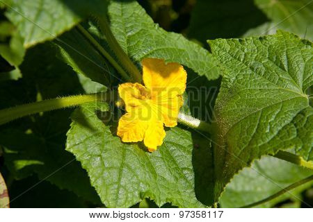 Flower And Leaves Of Cucumber