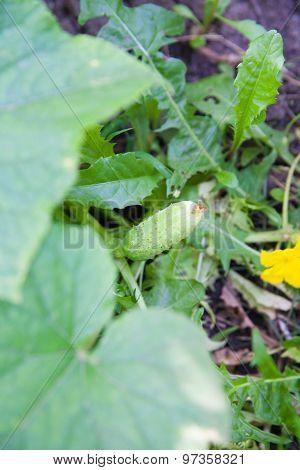 Growing Cucumber In The Garden