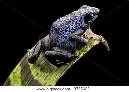 blue poison dart frog Dendrobates Azureus. A beautiful tropical and poisonous amazon rain forest animal