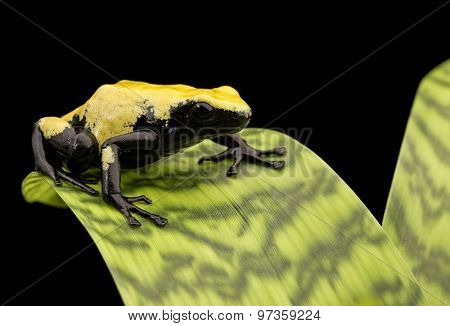 Yellow frog Brazil rain forest, Dendrobates galactonotus. Poisonous rainforest animal, exotic tropical amphibian with warning colors. Poison arrow or dart frogs are terrarium pet animals