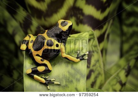 Yellow banded poison dart frog amazon rain forest of Guyana and Venezuela. Macro of a tropical poisonous animal kept as a pet in a terrarium.