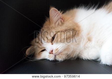Fluffy cat falling asleep