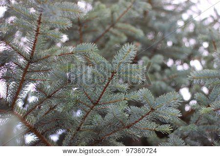 Pine tree up view