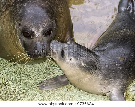 Newborn Harbour Seal (phoca Vitulina)