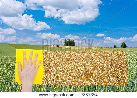 Hand Deletes Green Wheat Field By Yellow Cloth