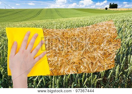 Hand Deletes Green Wheat Ears By Yellow Cloth