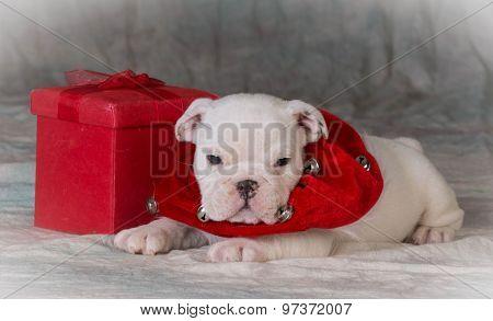 christmas puppy laying beside gift - bulldog