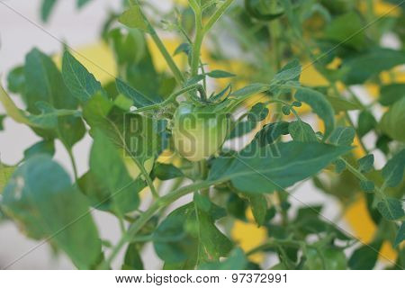 Green tomato growing on plant