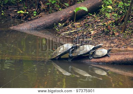 Amazonian River Turtles On The Log