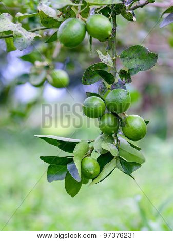 Lime Tree And Fresh Green Limes On The Branch In The Lime Garden.
