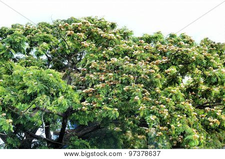 Many flowering tropical tree. Philippines. The island of Palawan.