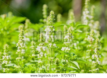 The Basil Field With Flowers Herb For Aromatherapy .