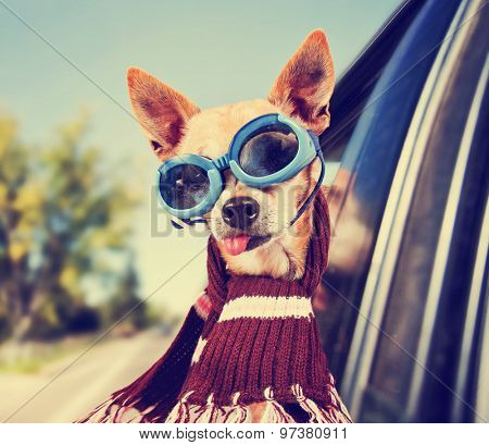 a chihuahua in a car with his head out the window with goggles on toned with a retro vintage instagram filter effect app or action