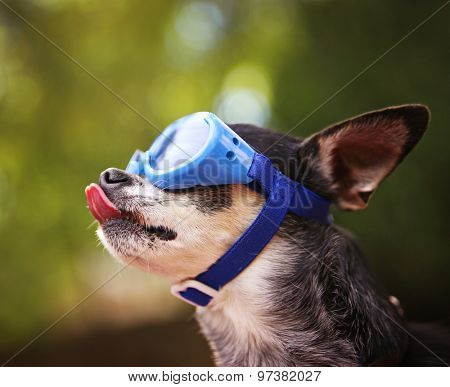 a cute chihuahua wearing goggles and sitting outside during summer time licking his face with his big pink tongue