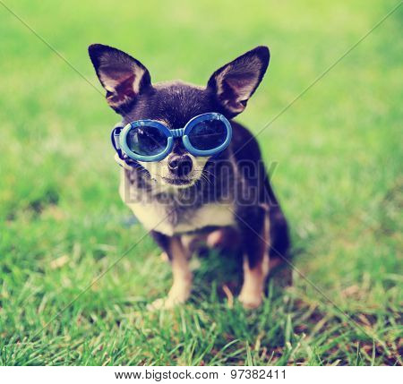 a cute chihuahua wearing goggles in the grass toned with a retro vintage instagram filter app or action effect