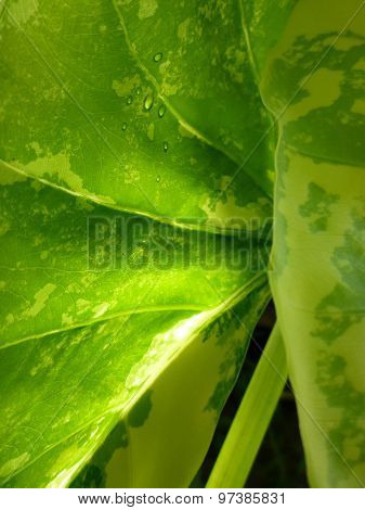 Sunlight through a variegated young leaf