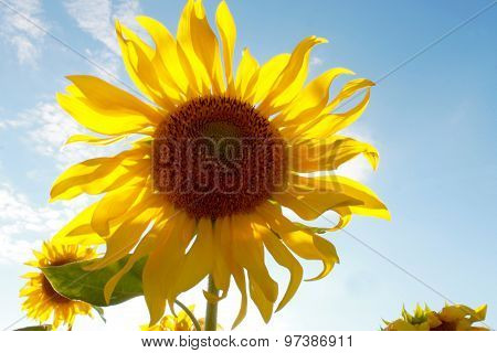 Sunflower Photographed From Below Against The Sky