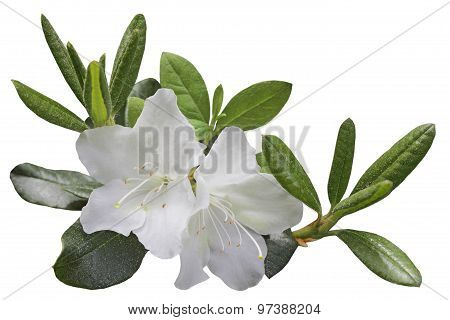White Azela Flower