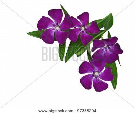 Vinca Minor Flower