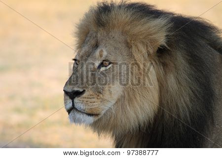 Cecil the Iconic Hwange Lion