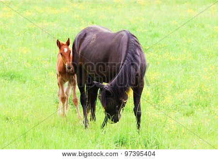 Horse With Foal Grazing In A Meadow