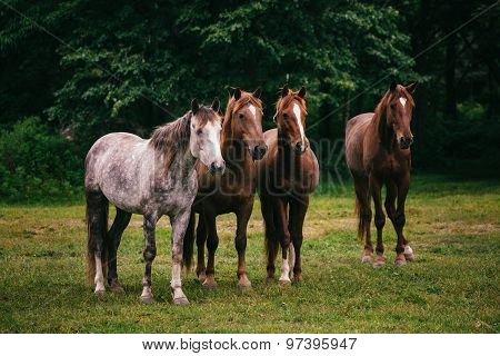 Wild horses in the field