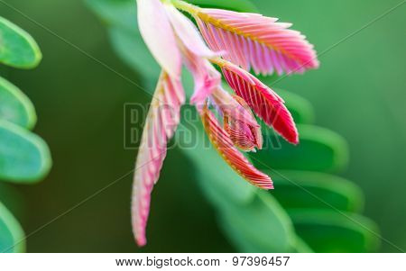 Tamarind Spring. - Macro Shot With Selective Focus