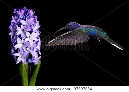 Green Violetear Hummingbird Flying Over Black Background