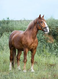 stock photo of gentle giant  - Big young draft chestnut stallion standing outside the stable  - JPG
